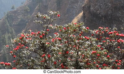 Flowering bushes, red inflorescences and leaves shining in oblique rays of sun - tree rhododendron (Rhododendron arboreum). Spring in Himalayas. Kullu valley. National symbol of Nepal