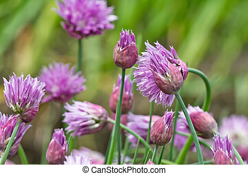 flowering, bylina, rośliny, od, przedimek określony przed rzeczownikami, syberyjski, cebula