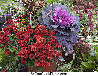 flowering cabbage with red mums - beautiful flowering...