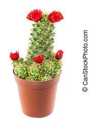flowering cactus isolated on white background.