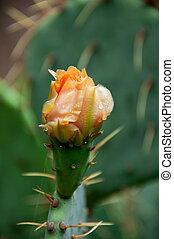 flowering cactus, or prickly pear
