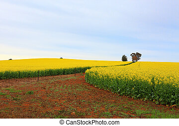 Flowering canola fields farm