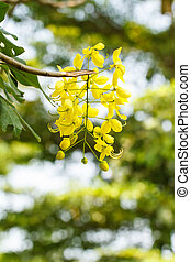 Flowering cassia National tree of Thailand