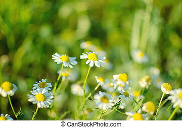 Flowering. Chamomile. Blooming chamomile field, Chamomile flowers on a meadow in summer