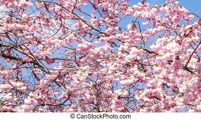flowering cherry blossom in spring on a sunny day