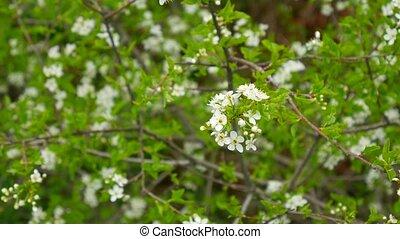 Flowering cherry branches. Flowering fruit trees in Montenegro