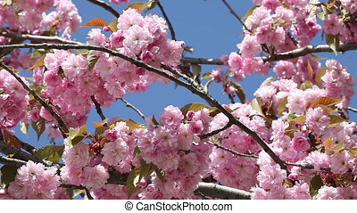 flowering cherry in spring on a sunny day.