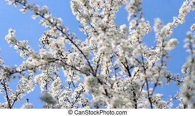 Flowering cherry in the sunlight on blue sky background