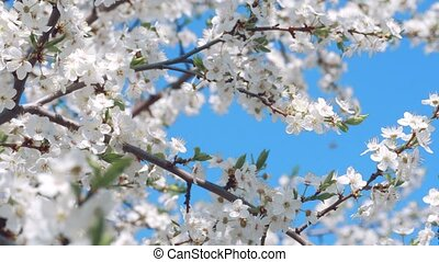 Flowering cherry on a clear day in April - Flowering acherry...