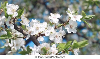 Flowering cherry on a clear day in April on the blue sku ...
