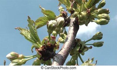 cherry - flowering cherry orchard.