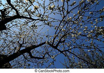 flowering cherry tree in spring