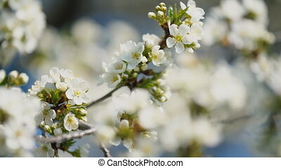 flowering cherry trees close up