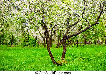 flowering cherry trees in spring garden