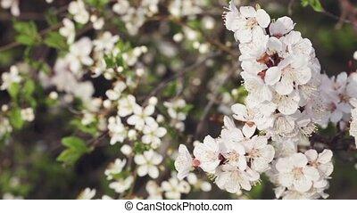 Flowering cherrys