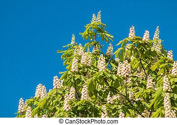 Flowering chestnut tree on blue sky background.