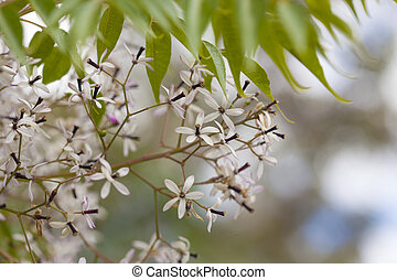flowering chinaberry tree background - flowering chinaberry...