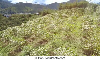 Flowering Coffee Trees on Grass Hills Upper View - pictorial...