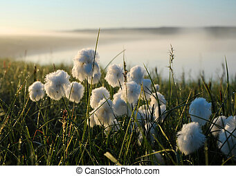 Flowering cotton grass in the tundra on the background of green grass, sky and river