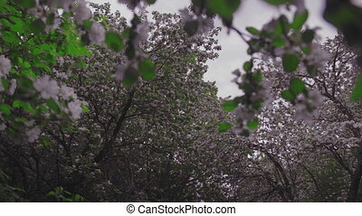 Flowering crabapple tree, apple tree and cherry tree with...