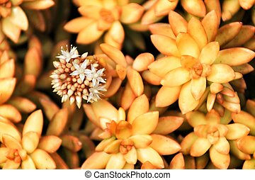 Flowering Crassulaceae in the garden