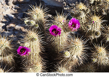 Flowering Crimson Hedgehog cactus