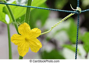 cucumber yellow flower