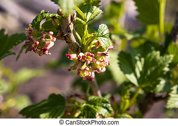 Flowering currant bush with green leaves in the garden. Blooming currants.