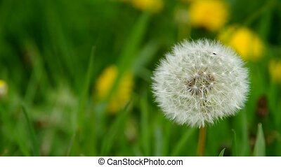 Flowering dandelion