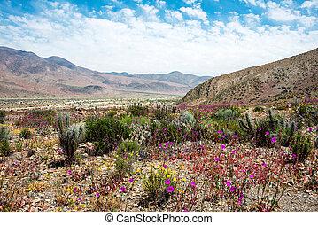 Flowering desert (Spanish: desierto florido) in the Chilean...