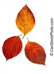 Flowering Dogwood Leaves