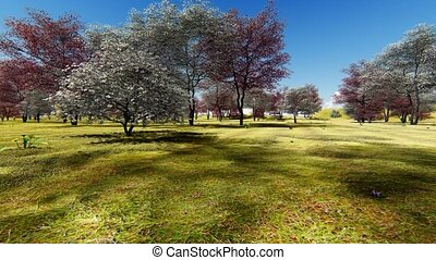 Flowering dogwood trees in orchard in spring time -...
