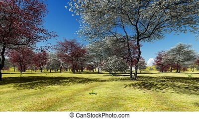 Flowering dogwood trees in orchard in spring time