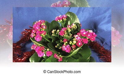 Flowering Dutch Hybrid plants. Isolated. Macro. full hd.