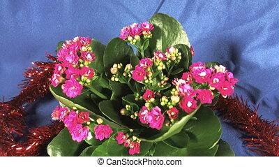 Flowering Dutch Hybrid plants. Isolated. Macro. full hd.