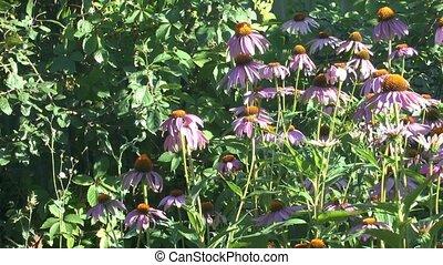 Beautiful blossoming flowers Echinacea purple summer sunny day.