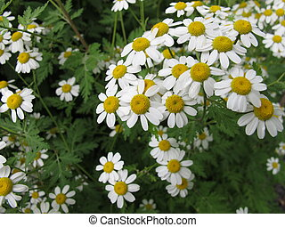 Flowering Feverfew