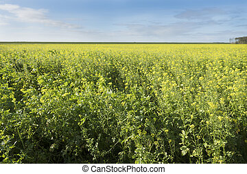 field of mustard seed and blue sky in dutch province of flevoland