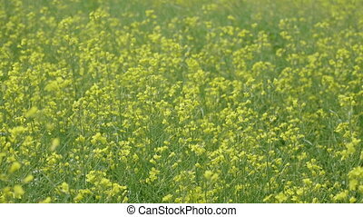 Flowering field of yellow canola in the wind.