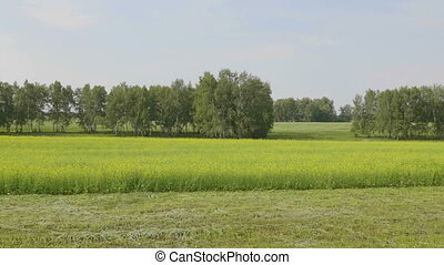 Flowering field of yellow canola, panoramic landscape.