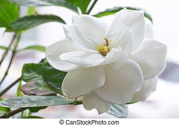 Flower of Gardenia