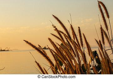 Flowering grass in the sun