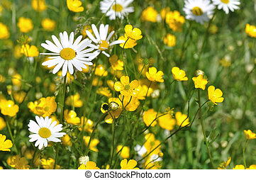 buttercups and daisies in a grassland