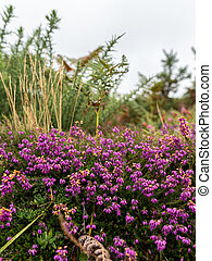 Flowering heather on a cloudy day in late summer
