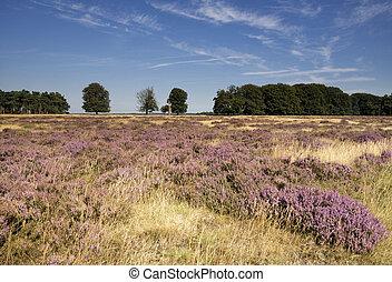Flowering heathland in the Dutch national park de Hoge Veluwe