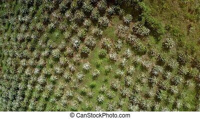 Flowering in White Coffee Bush Rows Aerial View