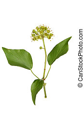 Flowering ivy isolated against white