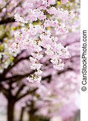 Flowering japanese cherry trees