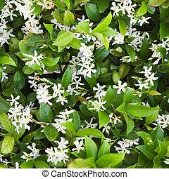 Close up of blooming Jasmine bush.