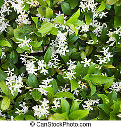 Flowering Jasmine. - Close up of blooming Jasmine bush.